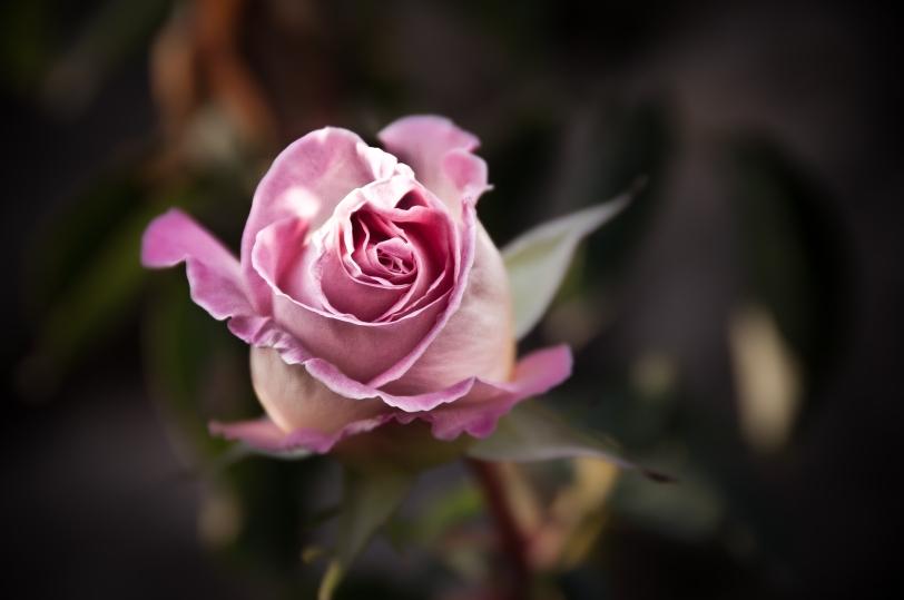 Beautiful rose from Ca'n Pulit in Selva