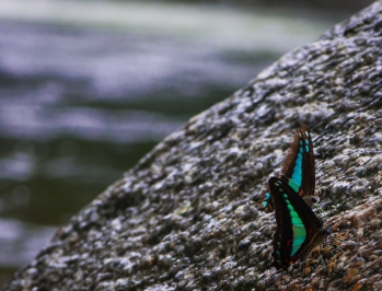 Blue Triangle butterfly (Graphium sarpedon) at Mossman Gorge, Daintree Rainforest. Photo by Veronica Lopez