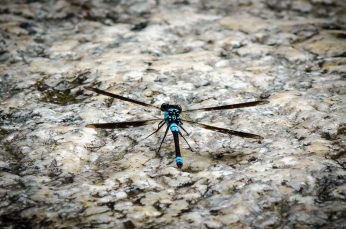A dragonfly in Mossman Gorge, Daintree Rainforest. Photo by Mario Sainz Martinez