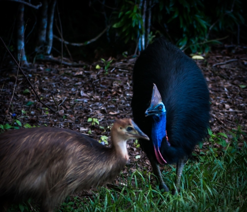 Mom cassowary and its chick. Photo by Veronica Lopez