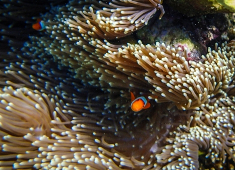 Another clownfish. Photo by MBVK (the first letter of our names)