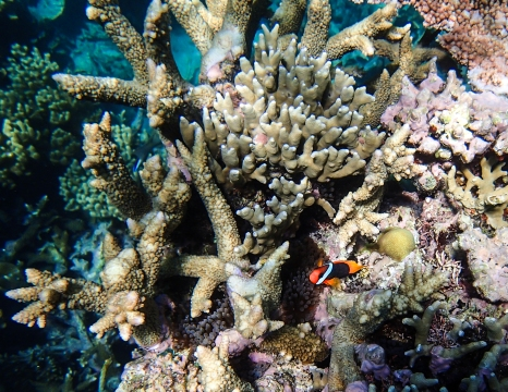 Clownfish hiding in the coral. Photo by MBVK (the first letter of our names)