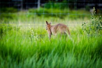 Kangaroo. By Mario Sainz Martinez
